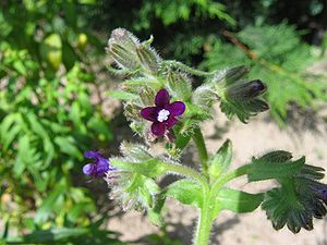 Oksentong (Anchusa officinalis)
