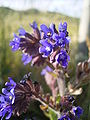 Anchusa officinalis 16-06-2006 19.44.06.JPG