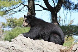 Andean Bear at Queens Zoo.jpg