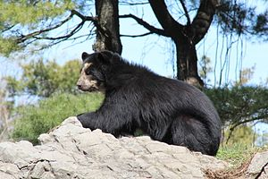 Queens Zoo - Andean bear female at the zoo.