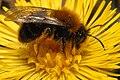 Andrena.sp.2.-.lindsey.jpg