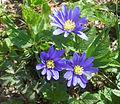Anemona blanda i Plantis, Falköping 6621.jpg