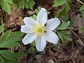 Anemone nemorosa, bosanemoon (1).jpg