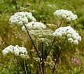 Angelica sylvestris L. (7746026640).jpg
