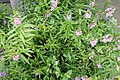 Angelonia angustifolia Pink & Purple 7zz.jpg