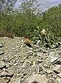 Animal en el Cerro de la Silla.jpg
