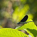 Anisoptera - Libélula - Dragonfly - 008 - Galicia.jpg
