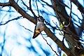 Anna's hummingbird (39183566011).jpg