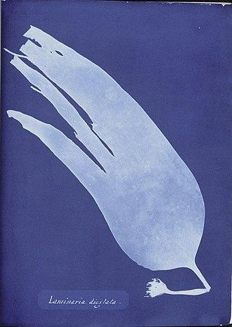 Laminaria - Laminaria digitata, Cyanotype by Anna Atkins, 1843