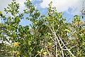 Annona glabra 16zz.jpg