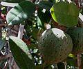 Annona salzmannii A. DC. - Flickr - Alex Popovkin, Bahia, Brazil (8).jpg
