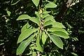 Annona squamosa kz01.jpg
