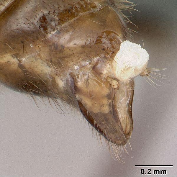 File:Anochetus boltoni casent0063847 profile 3.jpg