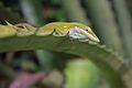 Anolis porcatus on leaf.jpg