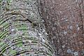 Anolis sp. on a Ceiba sp.— Geoff Gallice 001.jpg