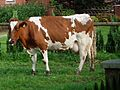 Ansicht Milchkuh von der Seite.JPG