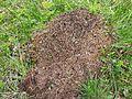 Ant hill in Slovenia.jpg