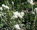 Antennaria dioica 07072002 2.JPG