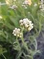 Antennaria luzuloides-4-25-05.jpg