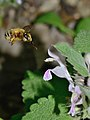 Anthophora on Lamium 1.jpg