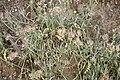 Anthyllis vulneraria-2988.jpg