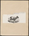 Antilope crispa - 1872 - Print - Iconographia Zoologica - Special Collections University of Amsterdam - UBA01 IZ21400183.tif