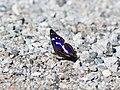 Apatura iris CF9A4913 Großer Schillerfalter.jpg