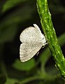 Apefly Spalgis epius by Dr. Raju Kasambe DSCN1502 (7).jpg