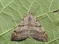 Aplocera plagiata - Treble-bar (40896708452).jpg