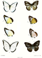 Appias hippoides 540.png