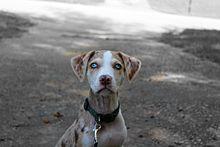 Louisiana Catahoula Leopard dog - Wikipedia