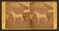"""Arabian stallion (""""Jenifer""""), from Robert N. Dennis collection of stereoscopic views.png"""