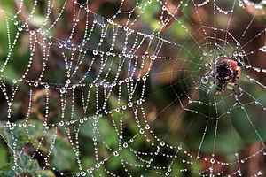 Araneus trifolium and its web with fog droplets at Twin Peaks in San Francisco.jpg