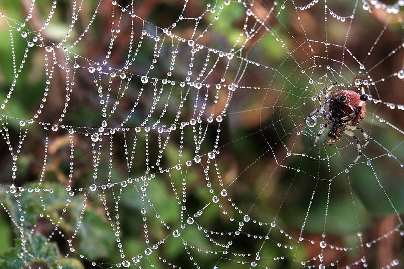 File:Araneus trifolium and its web with fog droplets at Twin Peaks in San Francisco.jpg