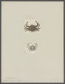Arcania erinaceus - - Print - Iconographia Zoologica - Special Collections University of Amsterdam - UBAINV0274 096 07 0013.tif