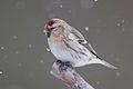 Arctic Redpoll (Acanthis hornemanni) (13667553233).jpg