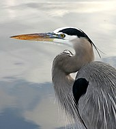 Profile of the head and upper body of a large, mostly grey-white bird with a neck that curves back toward the body and then curves away toward the head. The bird's beak is long and yellow; its white head is adorned with a streak of black feathers as is part of its visible shoulder.