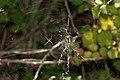 Argiope buernichii - pareja 03 (4922267981).jpg