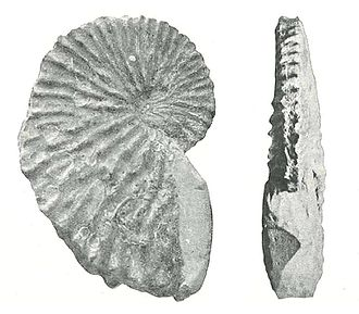 Argonaut (animal) - Fossilised eggcase of the extinct Miocene species Argonauta joanneus (lateral and keel views)