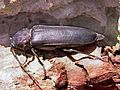 Arhopalus ferus side.jpg