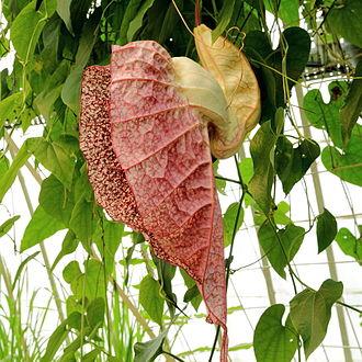 Aristolochia grandiflora - Image: Aristolochia grandiflora IMG 4616