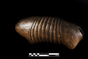 Nine-banded armadillo - Taxidermized armadillo shell