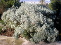 Artemisia arborescens 1c.JPG