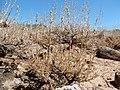 Artemisia arbuscula (27933401123).jpg