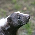 Artis Curious little fellow - Striped Skunk (36241896015).jpg