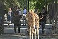 Artis Oh hi there! - Curious newborn giraffe (36074855062).jpg