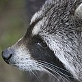 Artis Raccoon (36241909355).jpg