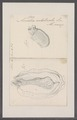 Ascidia intestinalis - - Print - Iconographia Zoologica - Special Collections University of Amsterdam - UBAINV0274 092 01 0022.tif