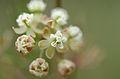 Asclepias verticillata flower cluster.jpg
