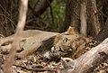 Asiatic Lion sleeping.jpg